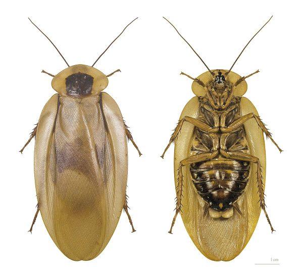 Hamamböceği Ne Yer?